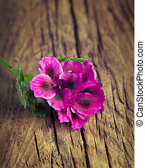 Pretty pink geranium on a vintage wood background