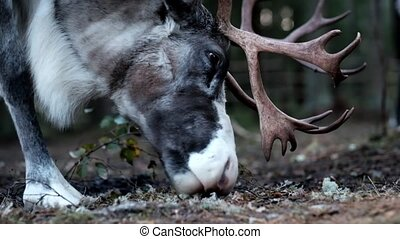 Pretty reindeer male eating moss. Close up view