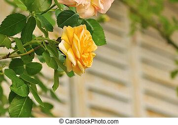 pretty romantic roses