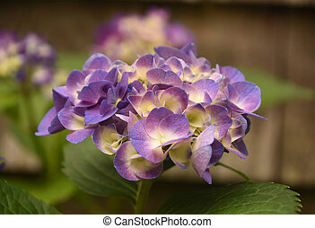 Pretty Shades of Purple Hydrangea Blossom in Bloom