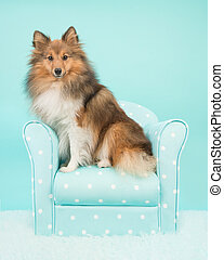 Pretty shetland sheepdog or sheltie sitting on a turquoise chair looking at the camera on a blue turquoise background