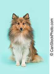 Pretty sitting shetland sheepdog or sheltie looking at the camera on a blue turquoise background