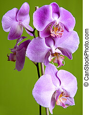 purple orchid - pretty small purple orchid on isolated green...