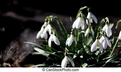 Pretty snowdrop plants - Pretty white snowdrop plants waving...