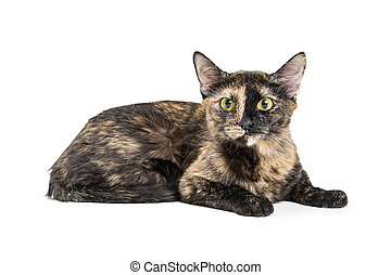 Pretty Tortoiseshell Cat Isolated on White - Beautiful black...