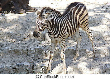Pretty young zebra