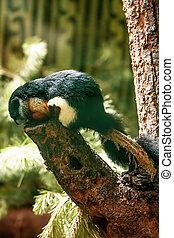 Prevost's squirrel, or Asian tri-colored squirrel...