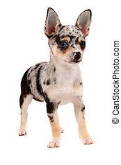 Prickigt,  CÙte,  Chihuahua