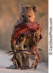 prickigt, hayena, med, bushbuck