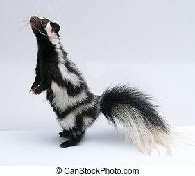 prickigt, skunk, uppe stå, vita, bakgrund
