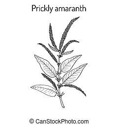 Prickly Amaranth medicinal plant - Prickly Amaranth...