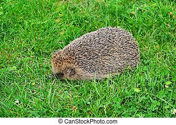 Prickly hedgehog on a green grass