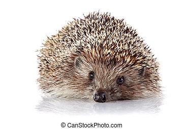 Prickly hedgehog on a white background - Prickly hedgehog. ...