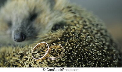 Prickly hedgehog on photosession with gold wedding rings indoors