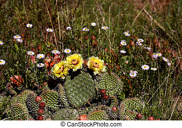 Prickly pear cactus in bloom, spring in southern Colorado