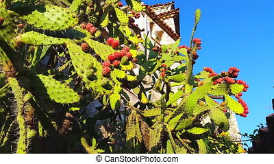 Prickly Pear Cactus with Red and Green Fruits