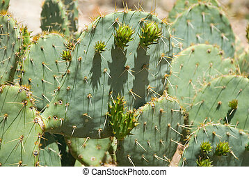 Prickly Pear Cactus in Havasu Canyon - Prickly pear cactus...