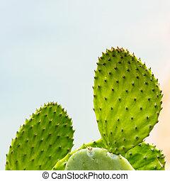 Prickly Pear (Chollas) cactus
