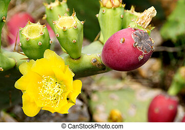 Prickly Pear Fruit - A prickly pear flower and fruit.