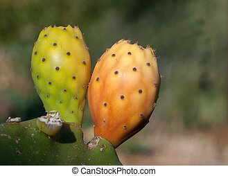 Prickly pear fruits on a cactus