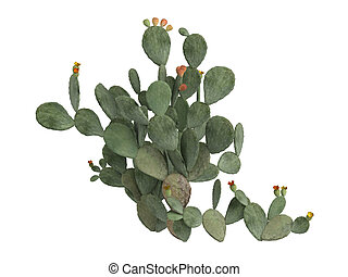 Prickly pear or Opuntia ficus indica - Indian fig, prickly...