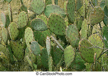 Prickly Pear - Prickly pear pads are used for a vegetable ...