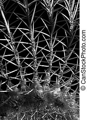 Prickly Situation - Close up of the 3 inch long thorns of a...