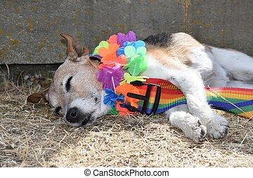 Pride dog sleeping