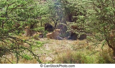 pride of lions resting in savanna at africa
