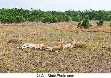 pride of lions resting in savannah at africa