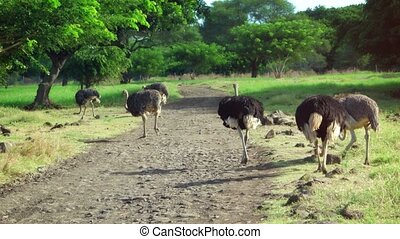 Small pride of mature ostriches strolls and grazes its way along an unpaved road through a nature park in Mauritius.
