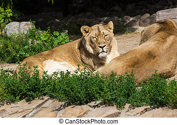 pride rests before the hunt, young male Asian lion and...