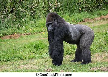 prigioniero, messo pericolo, gorilla occidentale pianura