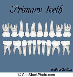 Primary teeth - crown and root , the number of teeth upper...