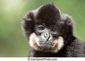 primate gibbon (Nomascus gabriellae) - Primate (Nomascus...
