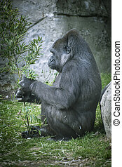 Primate, huge and powerful gorilla, natural environment