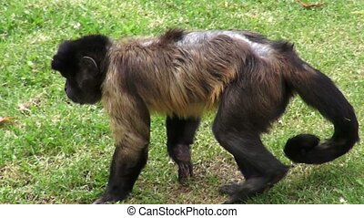 primates, singes, animaux, zoo