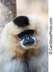 primatte Yellow-cheeked gibbon (Nomascus gabriellae) -...