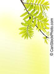 primavera, árbol ceniza, plano de fondo, rama