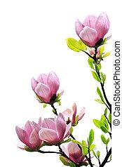 primavera, árvore magnólia, flores