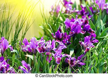 primavera, íris, flores