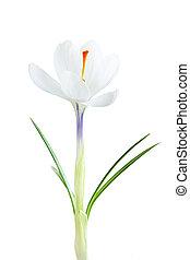 primavera, açafrão, flor