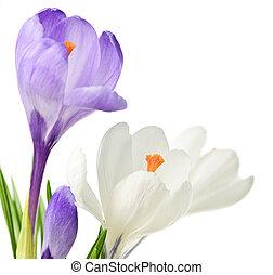 primavera, açafrão, flores