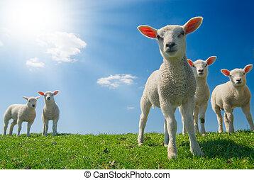 primavera, agnelli, curioso
