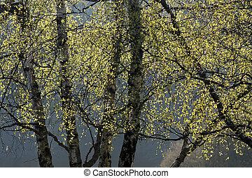 primavera, alberi betulla, tempo