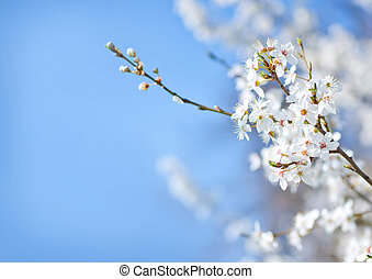 primavera, albero