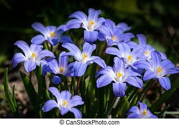 primavera, algum, luciliae), (chionodoxa, flores, glory-of-the-snow
