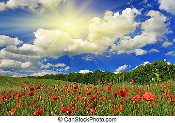primavera, amapola, día soleado, field.
