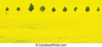 primavera, amarela, violação, campo
