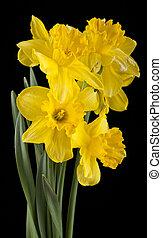 primavera, amarillo, narciso, flores